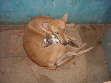 Santhal hound