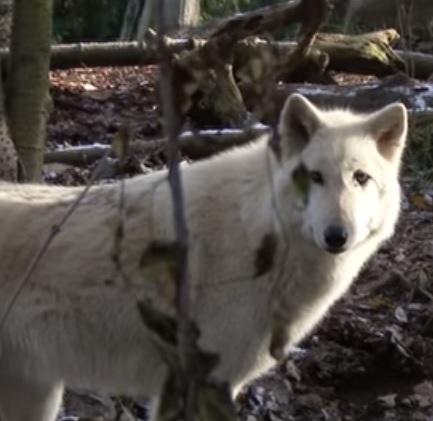 Wolf Himalayan